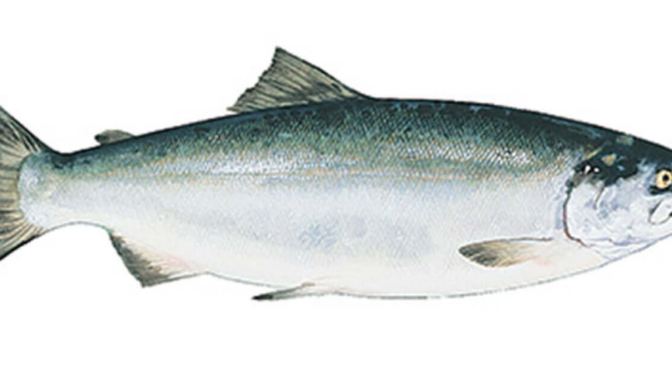 Federal Court Declares Genetically Engineered Salmon Unlawful